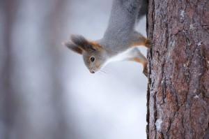 Ein Eichhörnchen im Oulanka Nationalpark. Foto: Markus Mauthe