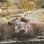 Ein Publikumsmagnet, auch in der kalten Jahreszeit, ist Familie Fischotter. Foto: Anja Gieseler