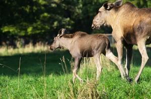Sie sollen ein neues Zuhause bekommen: die Elche. Foto: nh